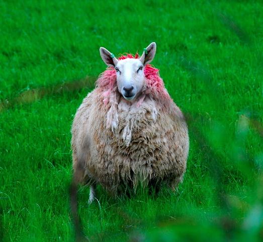 Sheep in field near Giant's Causeway, Northern Ireland